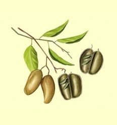 Griffonia Simplicifolia - Artículo informativo de Jaume Queral - Naturópata