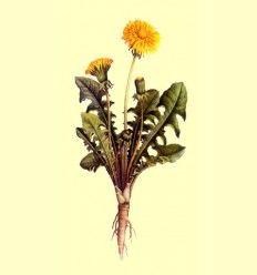Diente de León (Taraxacum officinale) Hoja Triturada - 100 gramos