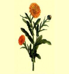Caléndula o Maravilla (Calendula oficinalis) - 100 gramos