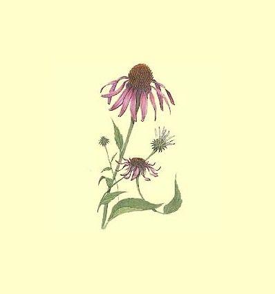 Echinacea, una ayuda de las hierbas.