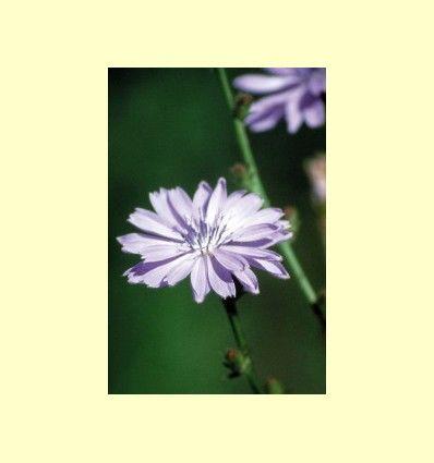 Flores de Bach para descansar mejor - Artículo informativo de Jaume Queral - Naturópata
