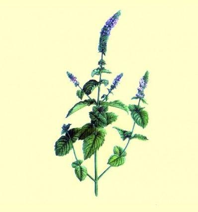 Menta dulce hoja entera - cultivo propio - 25 gramos