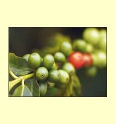 El ácido clorogénico del café - Artículo Informativo