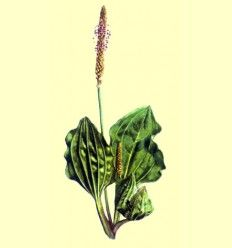 Llantén (Plantago major) 100 gramos