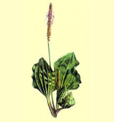Llantén (Plantago major) 100 gramos