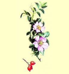Rosal silvestre o Escaramujo (Rosa canina) - 100 gramos de frutos
