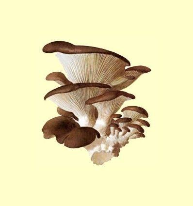 Seta de ostra y Coriolus - Artículo Informativo