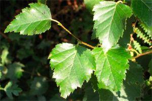 Abedul: Propiedades de la Planta Medicinal