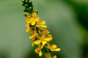 Agrimonia: Propiedades de la Planta Medicinal