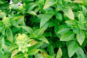 Albahaca: Propiedades de la Planta Medicinal