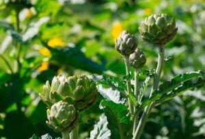 Alcachofera: Propiedades de la Planta Medicinal