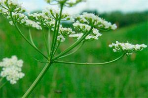 Alcaravea: Propiedades de la Planta Medicinal