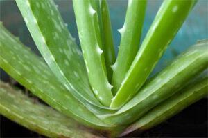Aloe vera: variedades y aplicaciones