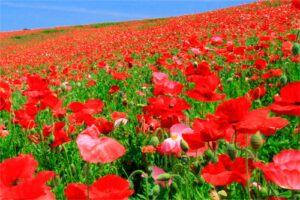 Amapola: Propiedades de la Planta Medicinal
