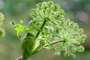 Angélica: Propiedades de la Planta Medicinal