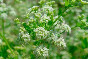 Apio: Propiedades de la Planta Medicinal