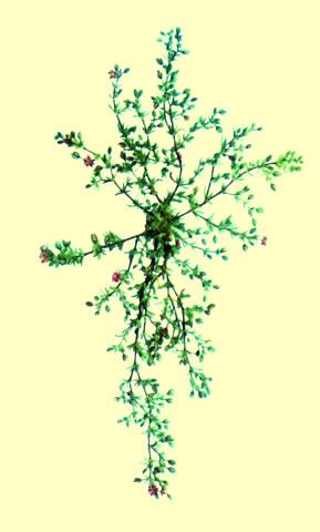Arenaria roja (Arenaria Rubra) Información