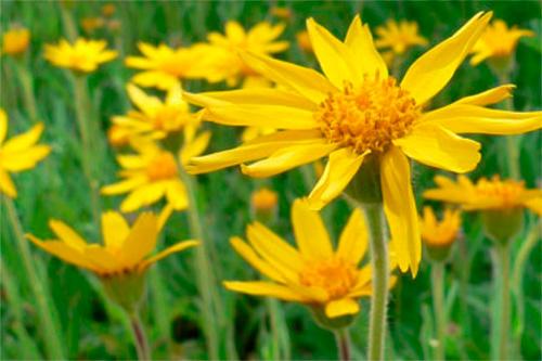 Arnica: Propiedades de la Planta Medicinal - Blog de Casa Pià