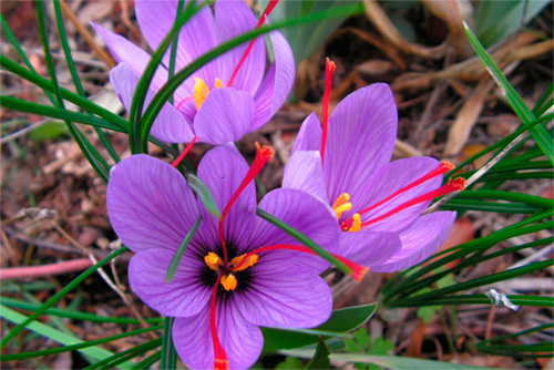 Azafrán: Propiedades de la Planta Medicinal - Blog de Casa Pià
