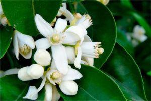 Azahar: Propiedades del árbol Medicinal