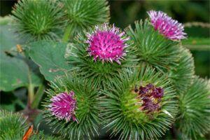Bardana: Propiedades de la Planta Medicinal