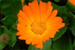 Caléndula: Propiedades de la Planta Medicinal