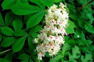 Castaño de Indias: Propiedades de la Planta Medicinal
