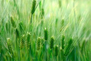 Verde de Cebada: Propiedades y Beneficios