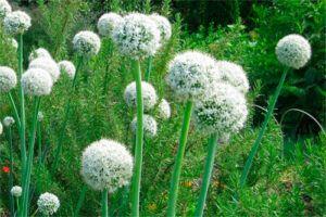 Cebolla: Propiedades de la Planta Medicinal