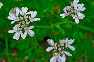 Cilantro: Propiedades de la Planta Medicinal