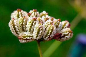 Comino: Propiedades de la Planta Medicinal