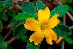 Damiana: Propiedades de la Planta Medicinal