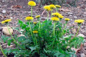 Diente de León: Propiedades de la Planta Medicinal