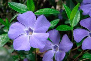 Vincapervinca: Propiedades de la Planta Medicinal