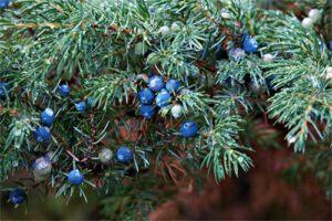 Enebro: Propiedades de la Planta Medicinal