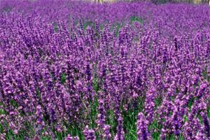 Espliego: Propiedades de la Planta Medicinal