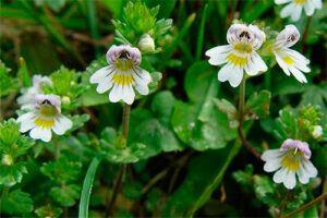 Eufrasia: Propiedades de la Planta Medicinal