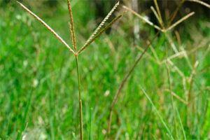 Grama: Propiedades de la Planta Medicinal