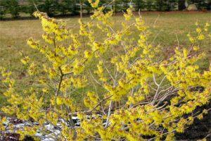 Hamamelis: Propiedades de la Planta Medicinal