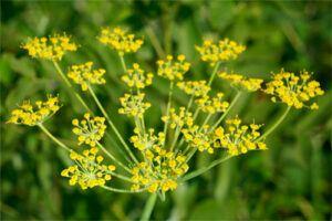 Hinojo: Propiedades de la Planta Medicinal