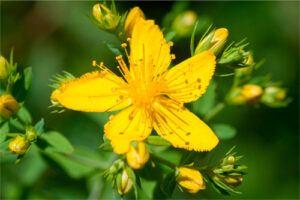 Hiperico: Propiedades de la Planta Medicinal