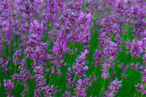 Lavanda: Propiedades de la Planta Medicinal