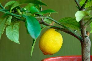 Limonero: Propiedades del árbol Medicinal