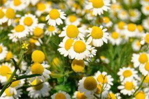 Manzanilla Común: Propiedades de la Planta Medicinal