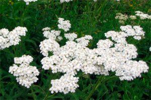 Milenrama: Propiedades de la Planta Medicinal