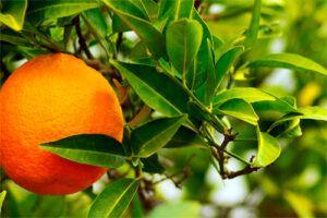 Naranjo amargo: Propiedades del árbol Medicinal