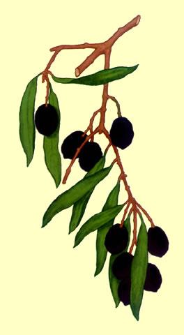 olivo.jpg
