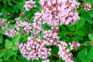 Orégano: Propiedades de la Planta Medicinal