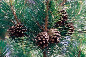 Pino albar: Propiedades del árbol Medicinal