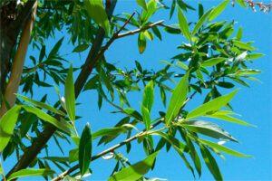 Sauce: Propiedades de la Planta Medicinal